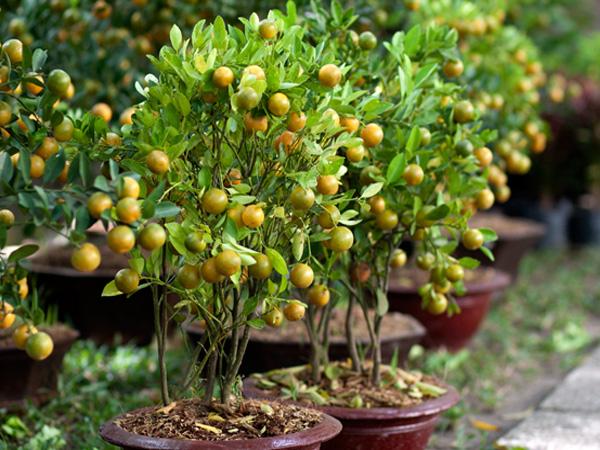 Cách trồng quất tại nhà cực đơn giản nhanh cho thu hoạch, chị em tha hồ lấy quả làm mứt trị ho  - Ảnh 3