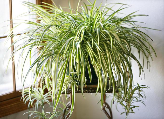 Cây trồng trong nhà mang lại tài lộc và sức khỏe năm mới - Ảnh 2