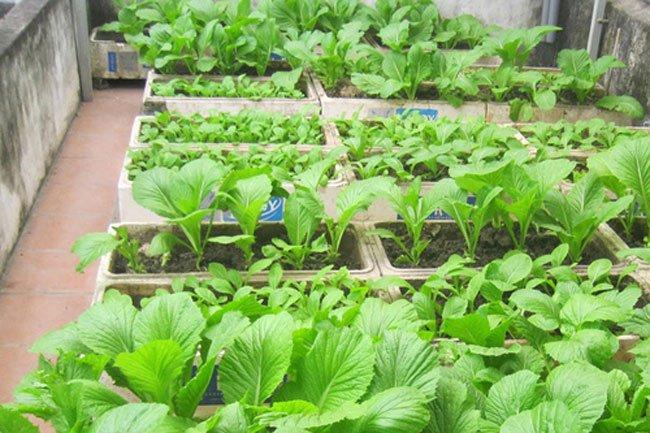 Tha hồ có rau cải xanh ăn quanh năm không hết với cách trồng trong thùng xốp cực đơn giản này - Ảnh 1