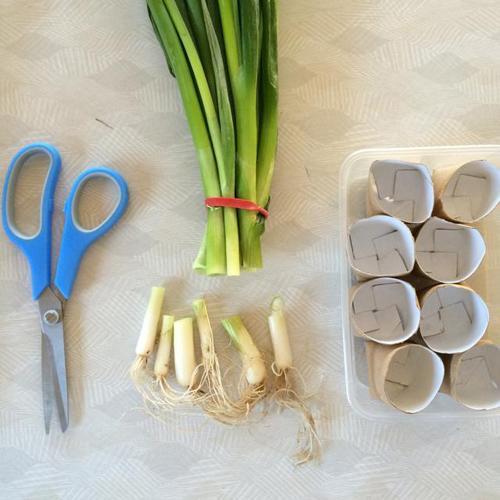 Tận dụng lõi giấy vệ sinh để trồng hành lá tại nhà, quanh năm chẳng tốn tiền mua mà vẫn có ăn - Ảnh 2