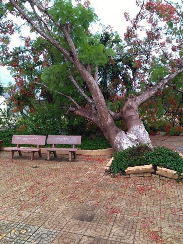 Lại thêm 1 cây phượng bật gốc ngã đổ ở trường tiểu học - Ảnh 1