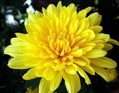 Hãy đặt ngay loài hoa này lên bàn thờ ngày Tết để cả năm bạc tiền dư dả, phúc lộc ngập nhà, xui xẻo tránh xa - Ảnh 2