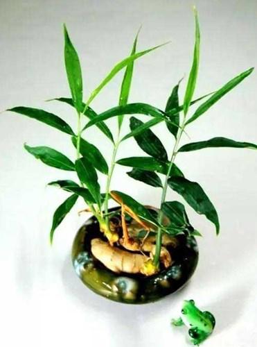 Cách trồng gừng tại nhà không cần đất: Vừa có cái ăn vừa trang trí nhà cửa thêm đẹp mắt - Ảnh 4