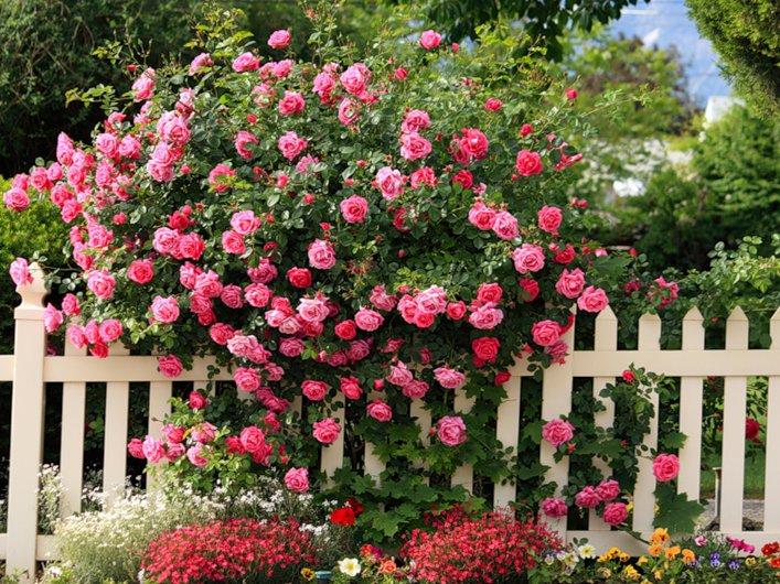 Ngỡ ngàng với cách trồng hoa hồng leo trong chậu cực đơn giản ai cũng làm được - Ảnh 1
