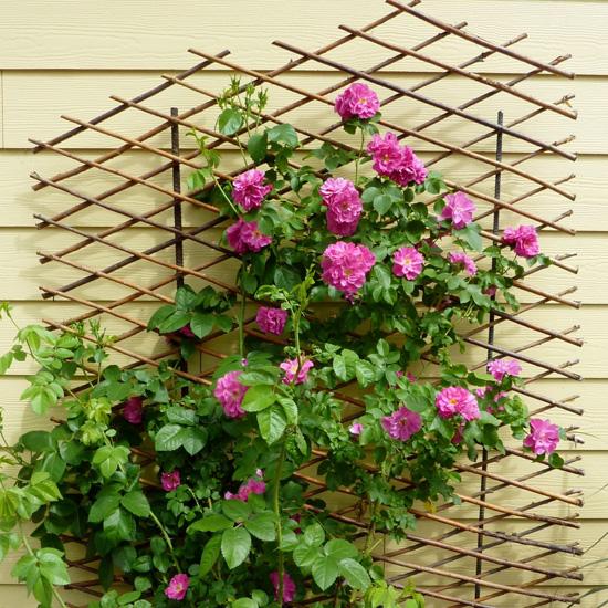 Ngỡ ngàng với cách trồng hoa hồng leo trong chậu cực đơn giản ai cũng làm được - Ảnh 3