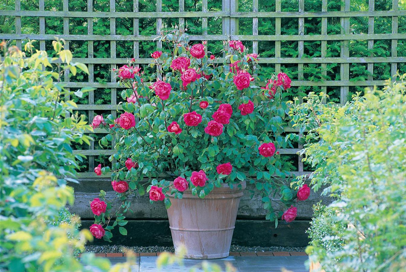 Ngỡ ngàng với cách trồng hoa hồng leo trong chậu cực đơn giản ai cũng làm được - Ảnh 2