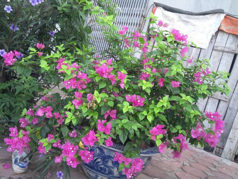Cách trồng hoa giấy leo ra hoa đẹp quanh năm cho nhà trong phố - Ảnh 3