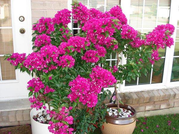 Cách trồng hoa giấy leo ra hoa đẹp quanh năm cho nhà trong phố - Ảnh 2