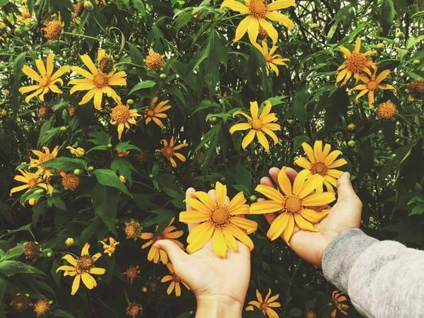 Loài hoa dã quỳ tình nghĩa luôn nở rộ khi đông bắt đầu tràn về
