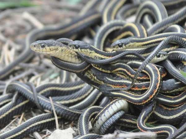 Nằm mơ thấy 3 con rắn quấn chặt nhau cần cẩn thận về những mối quan hệ hiện tại