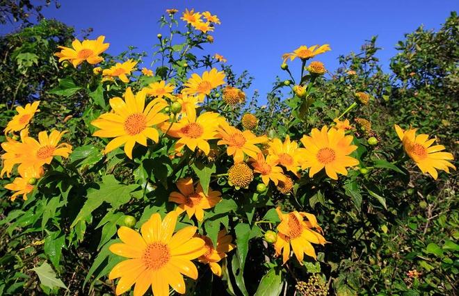 Cây hoa dã quỳ có cách trồng và chăm sóc rất đơn giản