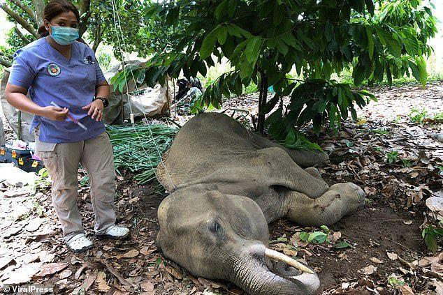 Đã bắt giữ được nghi phạm trong vụ voi mẹ mang thai chết tức tưởi vì ăn phải dứa nhồi pháo nổ - Ảnh 3