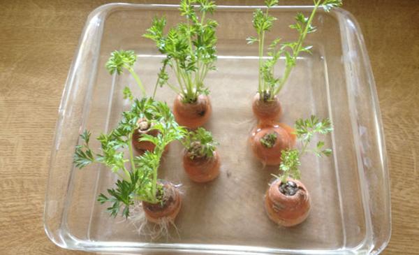 Chẳng cần hạt giống, cứ lấy phần bỏ đi này của cà rốt để trồng, chẳng mấy chốc mà thu hoạch mỏi tay - Ảnh 3
