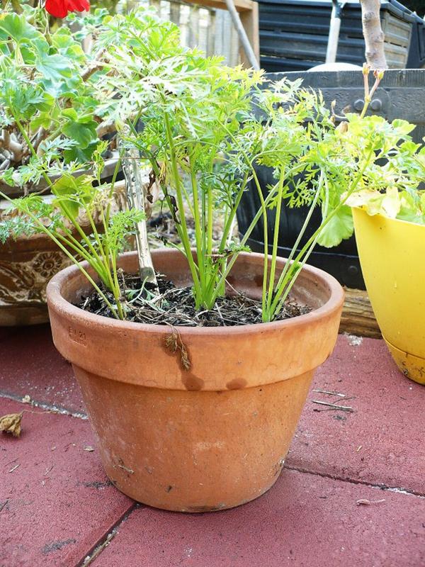 Chẳng cần hạt giống, cứ lấy phần bỏ đi này của cà rốt để trồng, chẳng mấy chốc mà thu hoạch mỏi tay - Ảnh 4