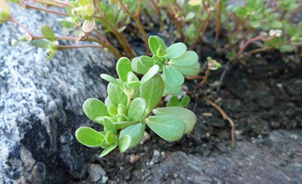 Loại rau có nhiều lợi ích cho sức khỏe này được tận dụng ở Trung Quốc từ rất lâu rồi, không ngờ ở Việt Nam lại mọc đầy vườn - Ảnh 2