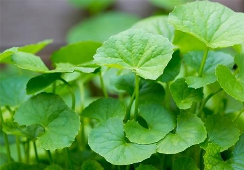 Loại thảo dược giúp làm chậm quá trình lão hóa da - Ảnh 2