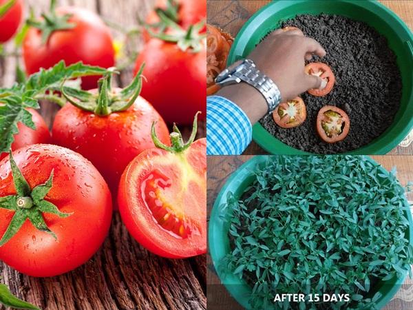 Trồng cà chua không cần hạt giống: Cách làm mới lạ nhưng đảm bảo thành công, cả năm thu hoạch mỏi tay