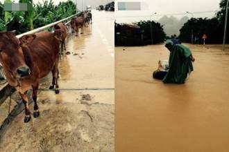 Quảng Bình lũ chồng lũ, người dân dắt bò lên đường tránh nạn