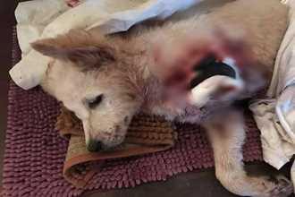 Xót xa hình ảnh chú chó 3 tháng tuổi đau đớn vì đứt lìa một chân, nghi bị trộm chém