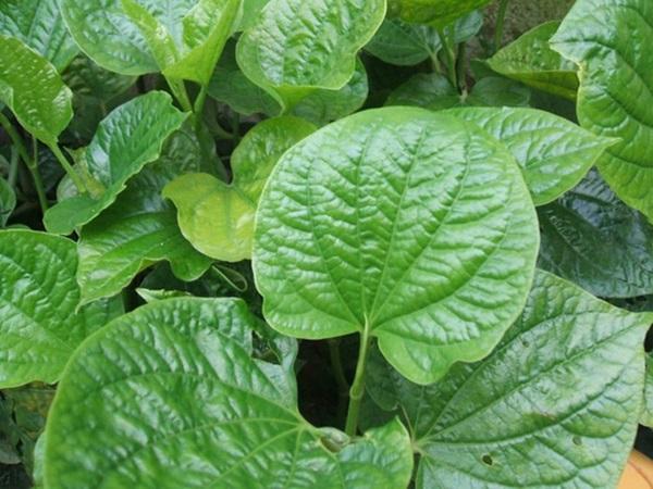 Giảm đau khớp, chống viêm nhiễm phụ khoa với loại lá quen thuộc, mọc đầy ngoài vườn này