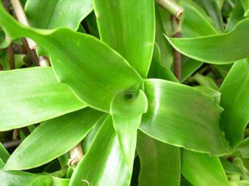 Cây lược vàng có thể dùng được cả thân, rễ, lá để ngâm rượu