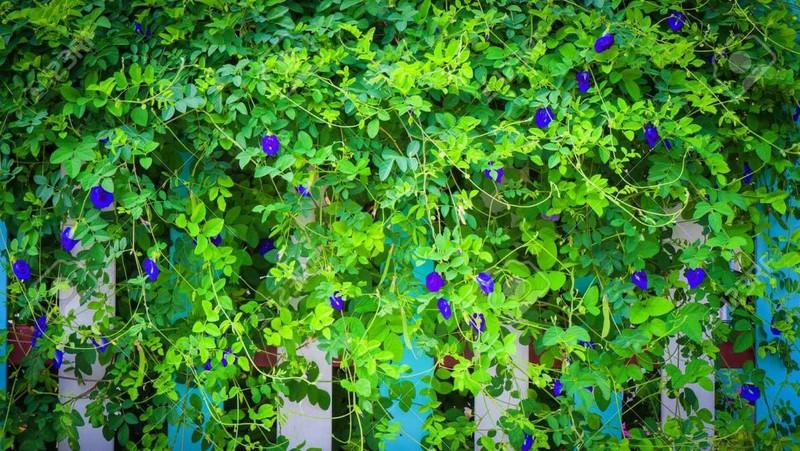 Bí quyết làm đẹp bằng hoa đậu biếc từ thiên nhiên - Ảnh 10