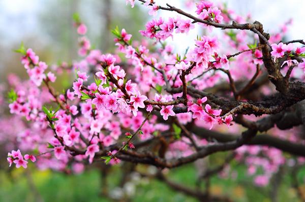 Từ lâu đời, hoa đào đã được xem là biểu tượng của ngày Tết Việt Nam ở miền Bắc