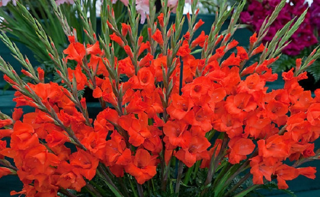Hoa lay ơn có ý nghĩa thể hiện lòng biết ơn vô bờ bến với ông bà Tổ tiên