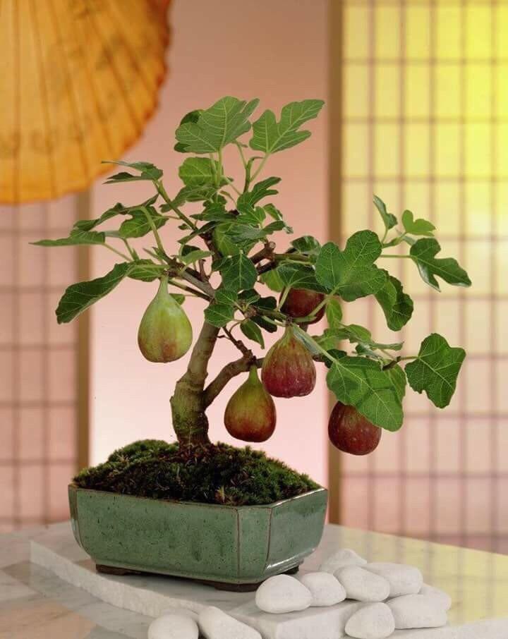 Cách trồng cây sung Mỹ đúng kĩ thuật, cực đơn giản mà cho quả đẹp,  thu hoạch mỏi tay - Ảnh 1