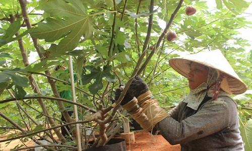 Cách trồng cây sung Mỹ đúng kĩ thuật, cực đơn giản mà cho quả đẹp, thu hoạch mỏi tay - Ảnh 10