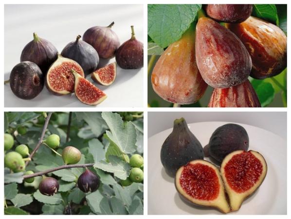 Cách trồng cây sung Mỹ đúng kĩ thuật, cực đơn giản mà cho quả đẹp, thu hoạch mỏi tay - Ảnh 7