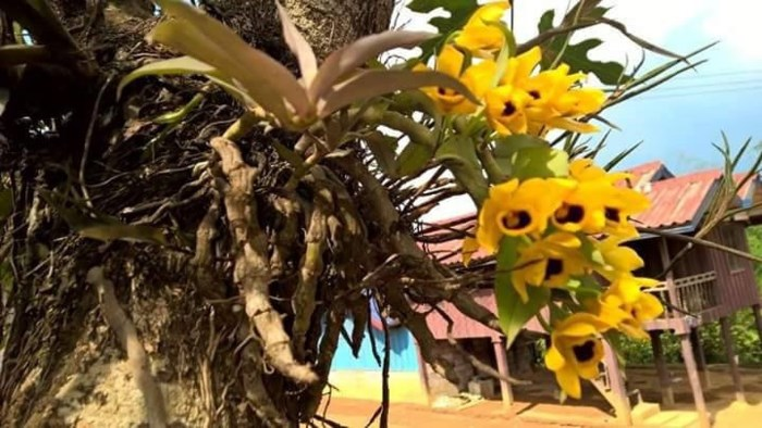 Cách trồng lan trầm vàng đơn giản mà ra hoa đẹp ngay tại nhà - Ảnh 5