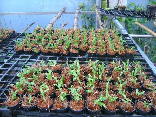 Cách trồng lan trầm vàng đơn giản mà ra hoa đẹp ngay tại nhà - Ảnh 2