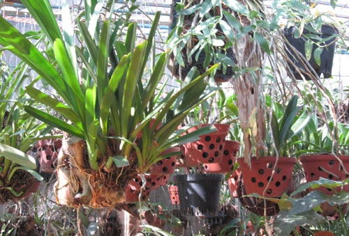 Cách trồng lan trầm vàng đơn giản mà ra hoa đẹp ngay tại nhà - Ảnh 3
