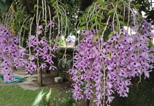 Cách trồng phong lan phi điệp tím ra hoa đẹp tại nhà - Ảnh 3