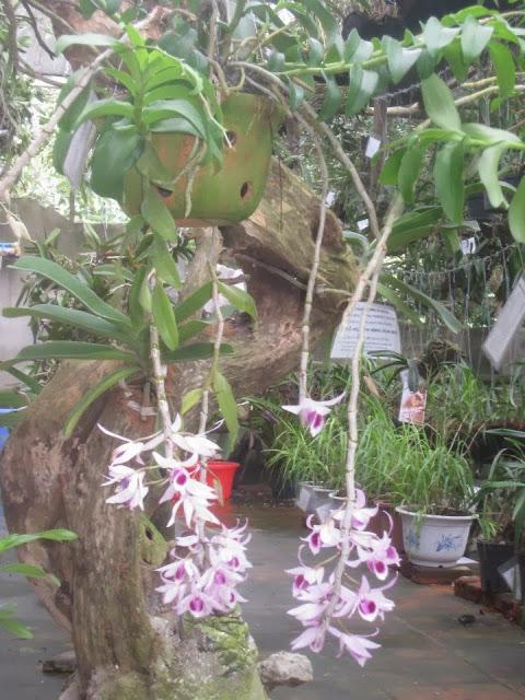 Cách trồng phong lan phi điệp tím ra hoa đẹp tại nhà - Ảnh 5