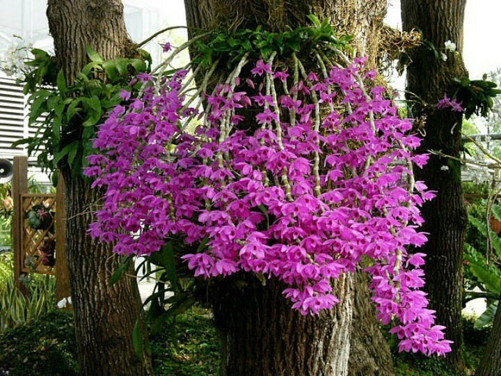 Cách trồng phong lan phi điệp tím ra hoa đẹp tại nhà - Ảnh 1