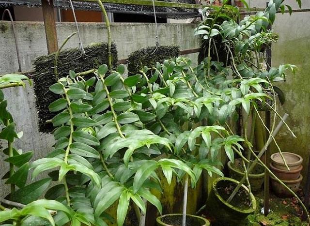 Cách trồng phong lan phi điệp tím ra hoa đẹp tại nhà - Ảnh 6