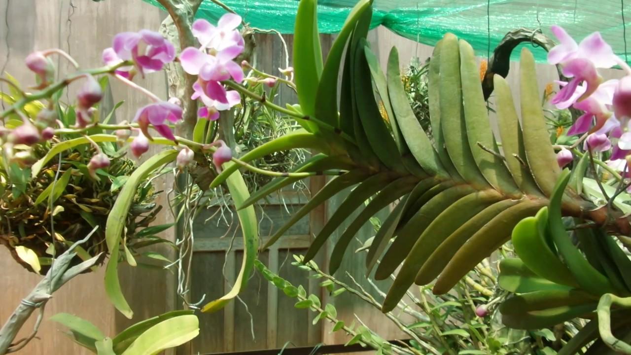 Cách trồng phong lan quế tím tô điểm cho không gian nhà bạn - Ảnh 6