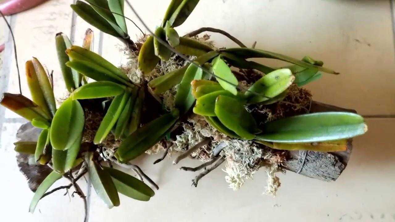 Cách trồng phong lan quế tím tô điểm cho không gian nhà bạn - Ảnh 1