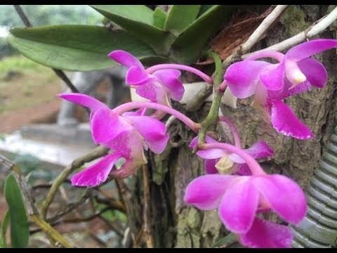Cách trồng phong lan quế tím tô điểm cho không gian nhà bạn - Ảnh 3