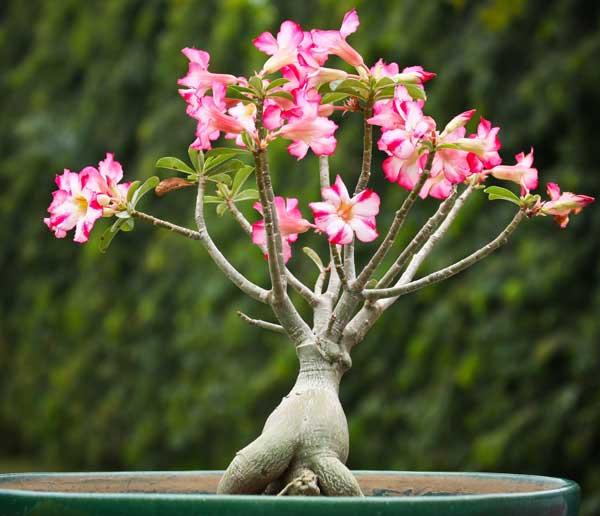 hoa su ảnh 1