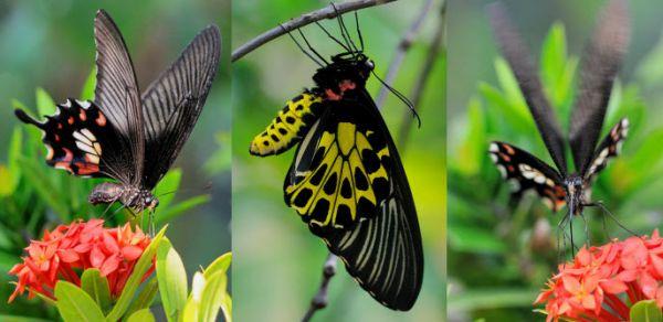 Giải mã điềm báo khi bướm đen bay quanh người  - Ảnh 3