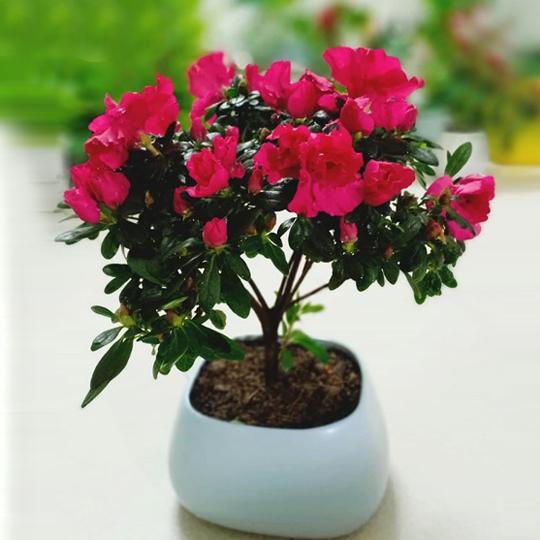 hoa do quyen ảnh 1