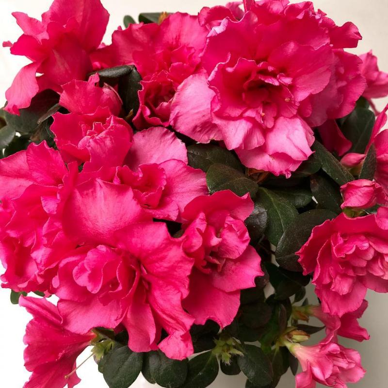 hoa do quyen ảnh 4
