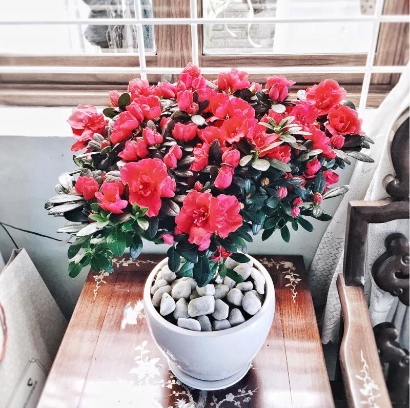 hoa do quyen ảnh 5