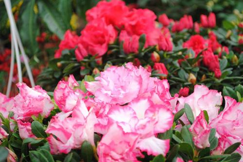hoa do quyen ảnh 3