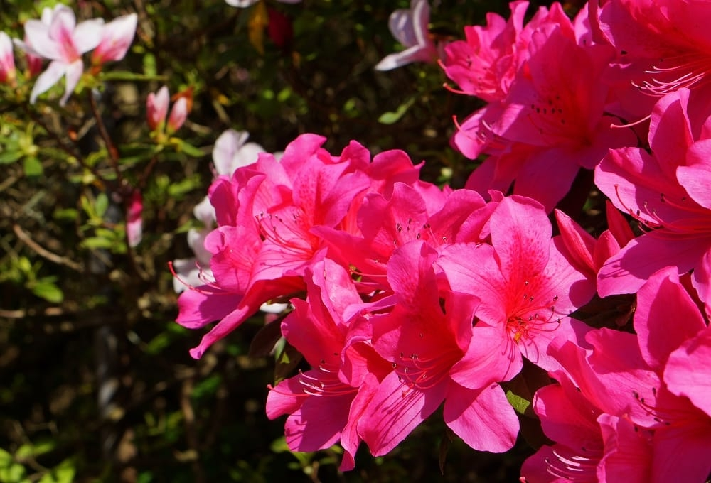 hoa do quyen ảnh 8