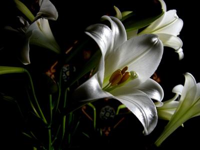 hoa loa ken ảnh 3
