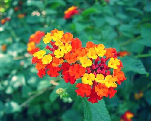 hoa ngu sac ảnh 4
